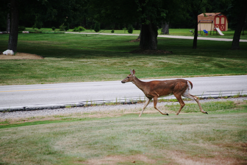 Oh, Deer: Deer and Auto Accidents
